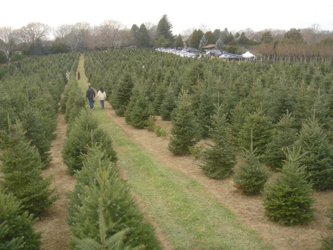 Dart's Christmas tree farm in Southold.