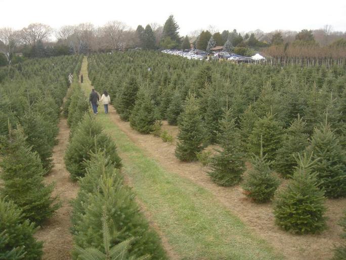 Dart's Christmas tree farm in Southold.